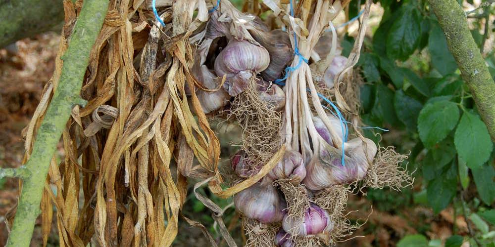 Ail | Culture, plantation et récolte au potager