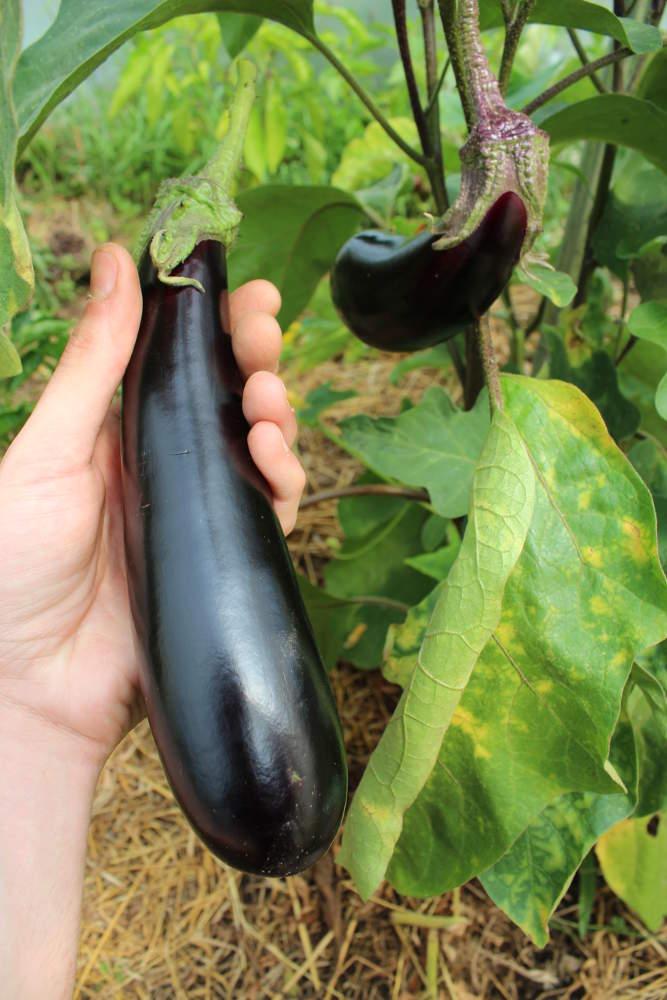 aubergines | cultiver, semer et récolter au potager.