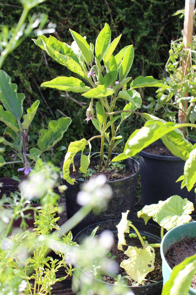 Aubergines cultiver semer et r colter au potager - Cultiver aubergine en pot ...