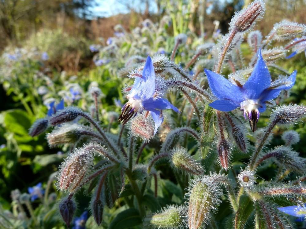 Bourrache utilisation culture et r colte au jardin et for Au jardin de la nymphe bleue