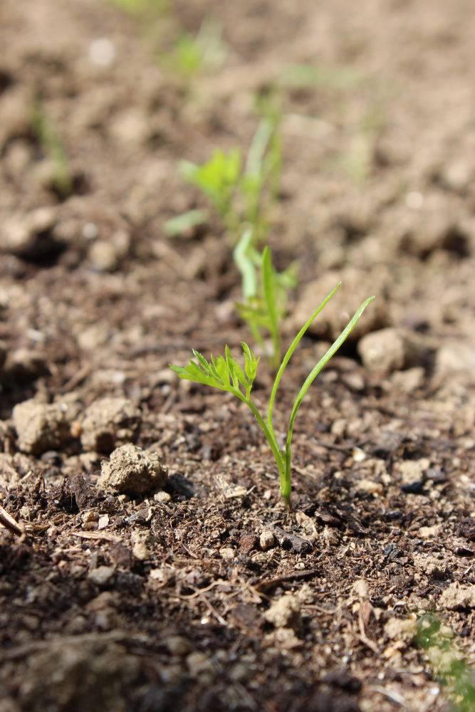 Carottes semis entretien et r colte au potager - Comment cuisiner les feuilles de betterave rouge ...