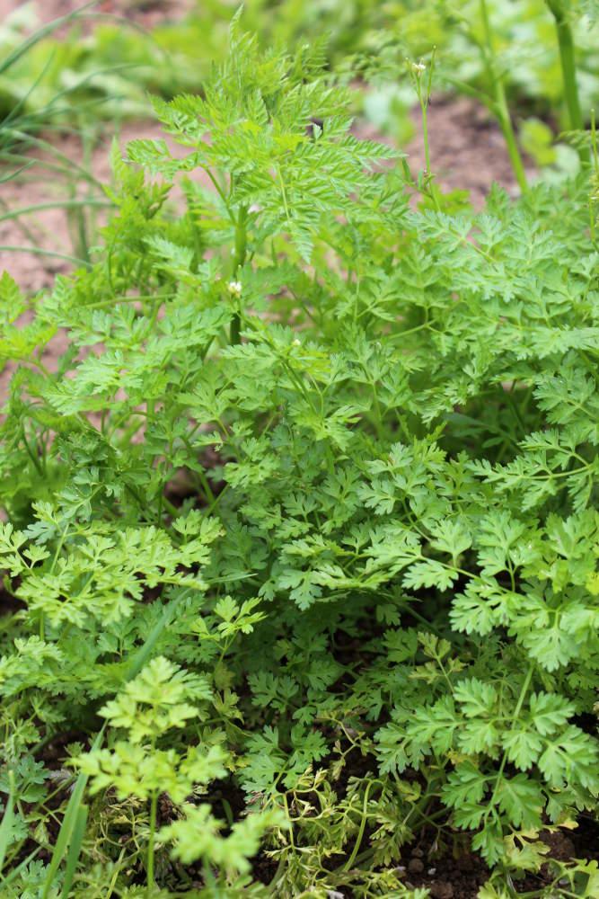 Cerfeuil semis culture et r colte au potager - Semer du persil en jardiniere ...