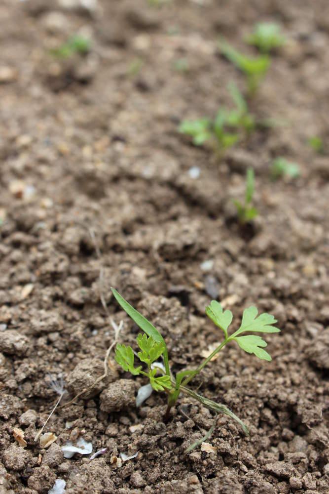 cerfeuil semis culture et r colte au potager