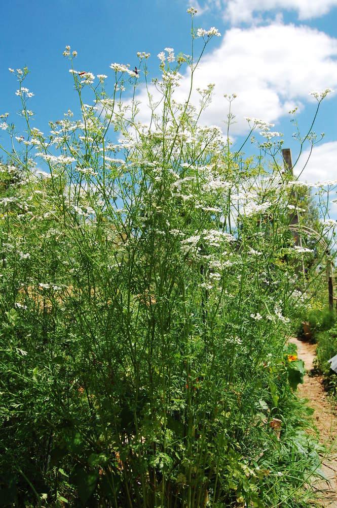 Coriandre semis culture et r colte au potager et en pot - Semer de l ail ...