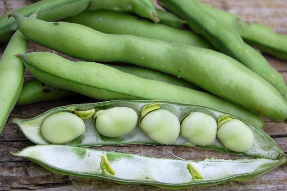 F ves semis culture et r colte au potager - Cuisiner les feves fraiches ...