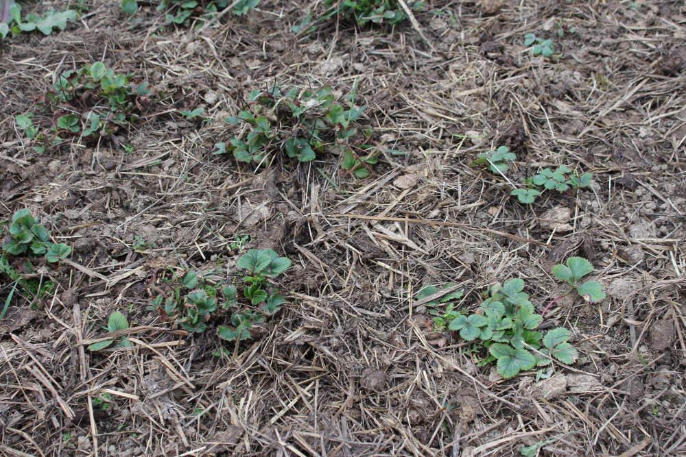 Fraisier planter cultiver et r colter - Quoi planter en hiver ...