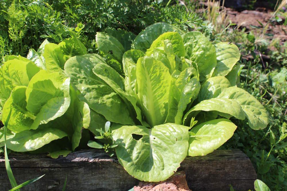 http://binette-et-cornichon.com/bundles/chouchieplant/images/plants/laitue/bordure.jpg