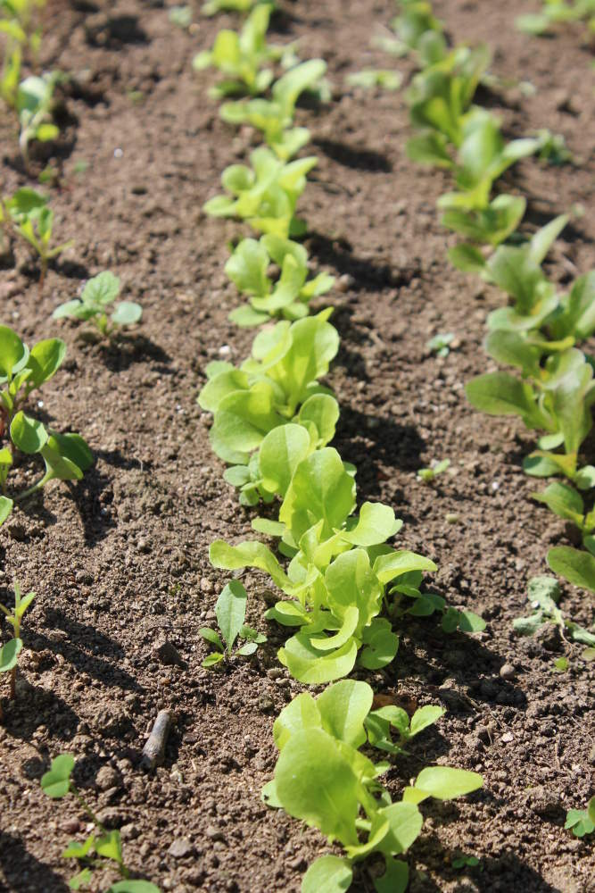 Laitue semis culture repiquage et r colte au potager - Semis de carottes en pleine terre ...