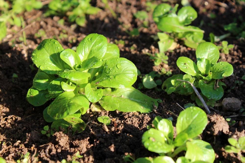 M che semer cultiver et r colter au potager - Planter de la mache ...