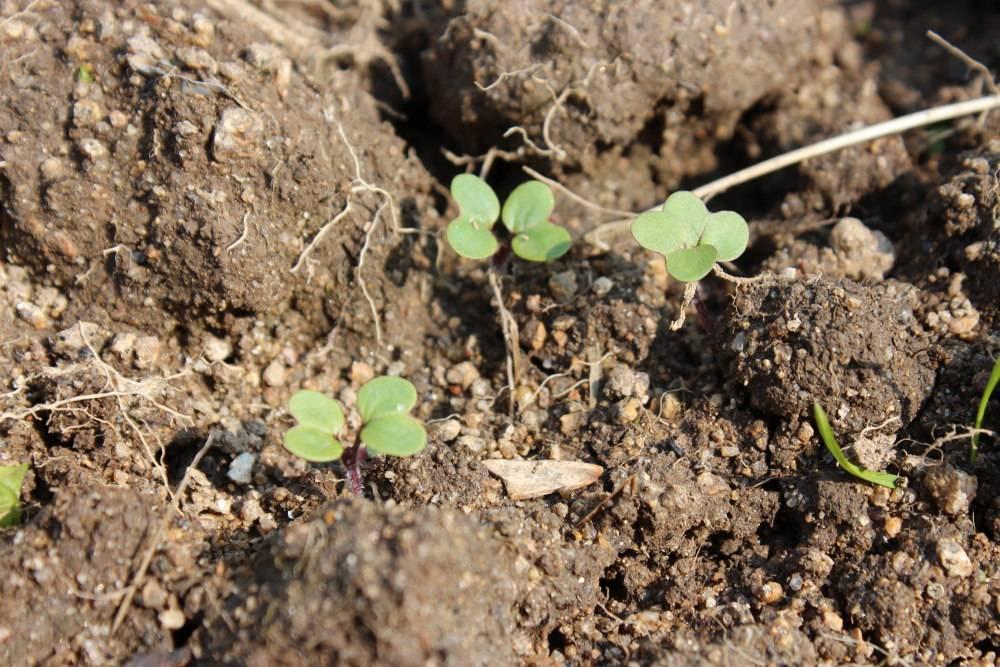 Moutarde semis culture engrais vert et r colte des graines - Semer a la volee ...