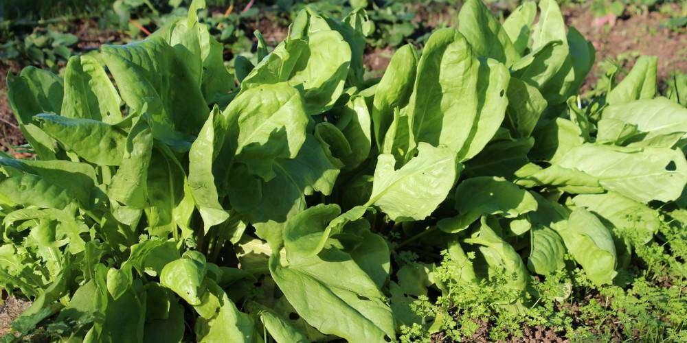 Oseille culture semis et entretien au potager - Puceron blanc plante verte ...