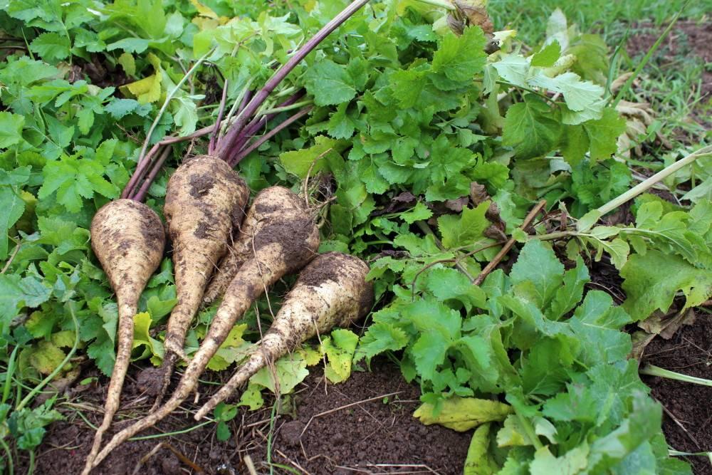 Panais culture semis et r colte au jardin potager for Semer le gazon au printemps