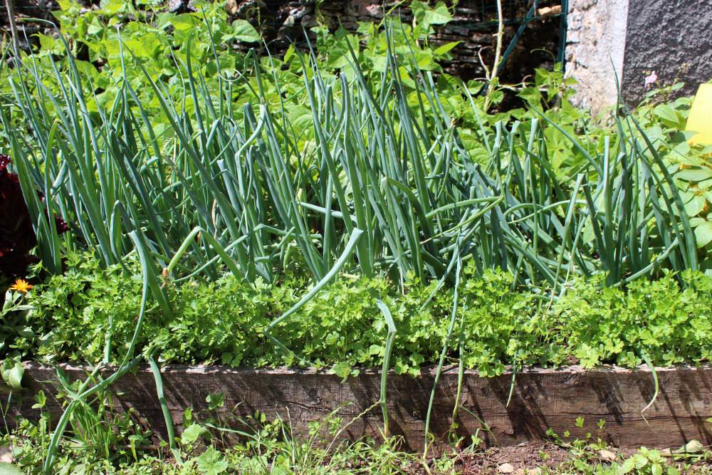 persil semis culture et r 233 colte au potager