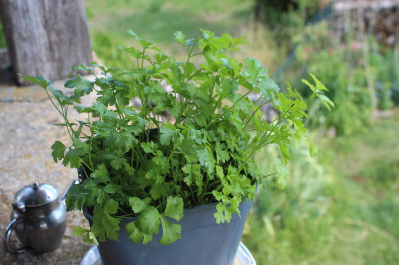 Planter du persil en pot - Planter persil en pot ...