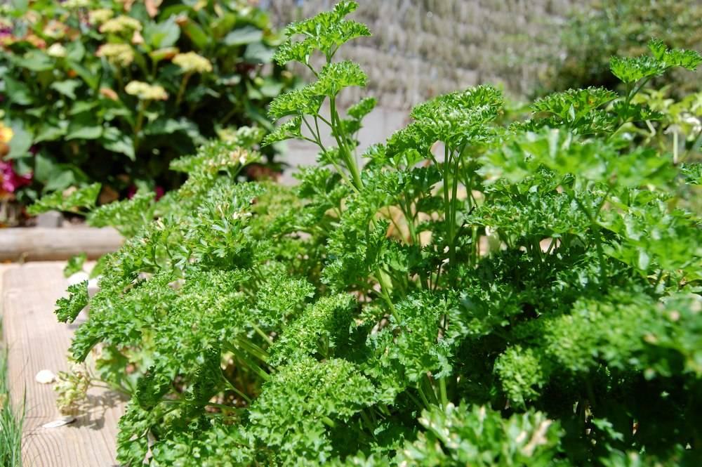 persil | semis, culture et récolte au potager
