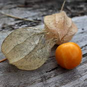 Fruit de Physalis Peruviana