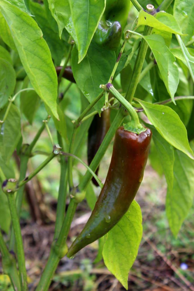 Poivrons plantation trucs et astuces pour faire pousser des graines de poivron sur son balcon - Comment planter des poivrons ...