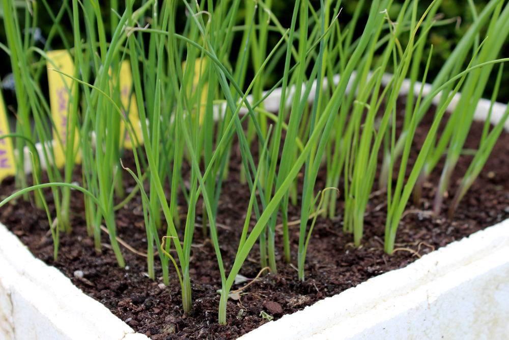 Poireaux semis culture et r colte au potager - Plants de poireaux a repiquer ...