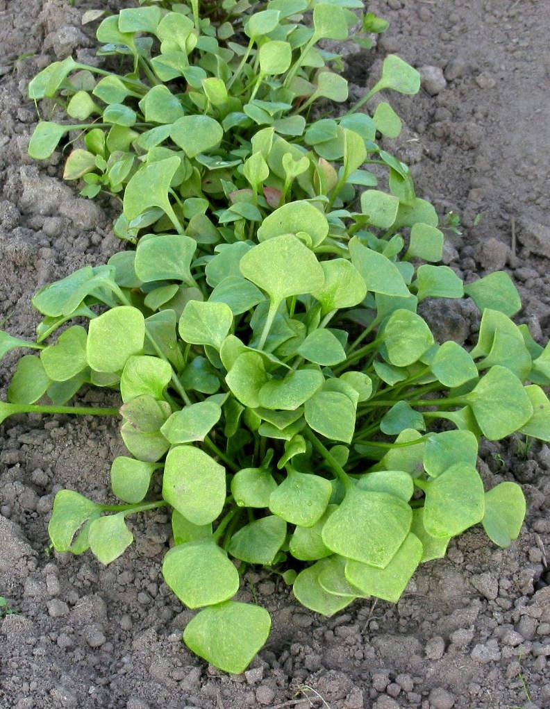 Pourpier d 39 t semis culture et r colte au potager - Variete de salade d hiver ...