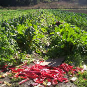 Récolte de rhubarbe au champs