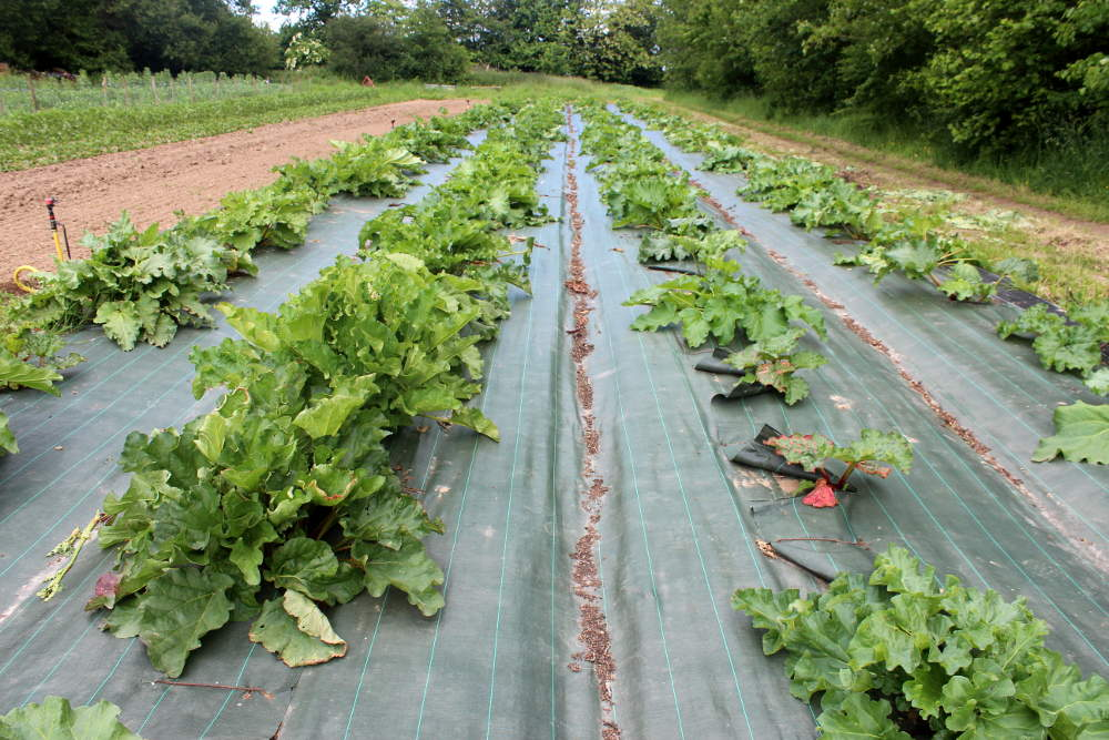 Cultiver la rhubarbe au potager : semis, multiplication, récolte ...