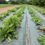 plantation de rhubarbe