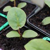 plant repiqué en pot individuel