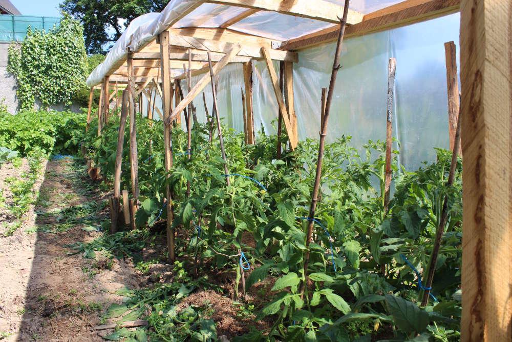 Tomates   Cultiver et récolter des tomates au potager