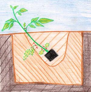 Comment planter ses tomates : techniques et conseils pour bien le réussir