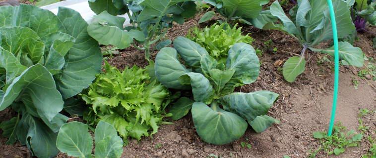 Associations des choux d 39 autres l gumes au potager - Planter des choux de bruxelles ...
