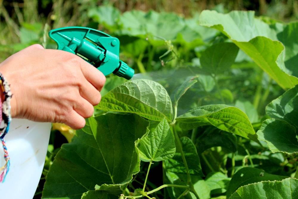 pulvériser produit ortie liquide sur légumes