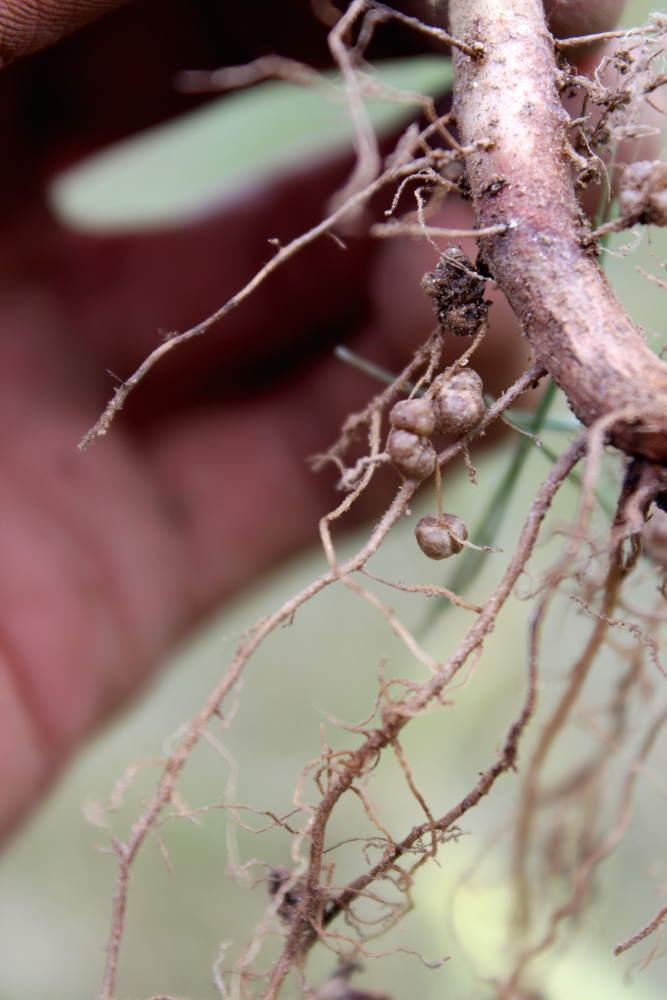Les plantes qui fixent l 39 azote de l 39 air au potager - Capacite calorifique de l air ...