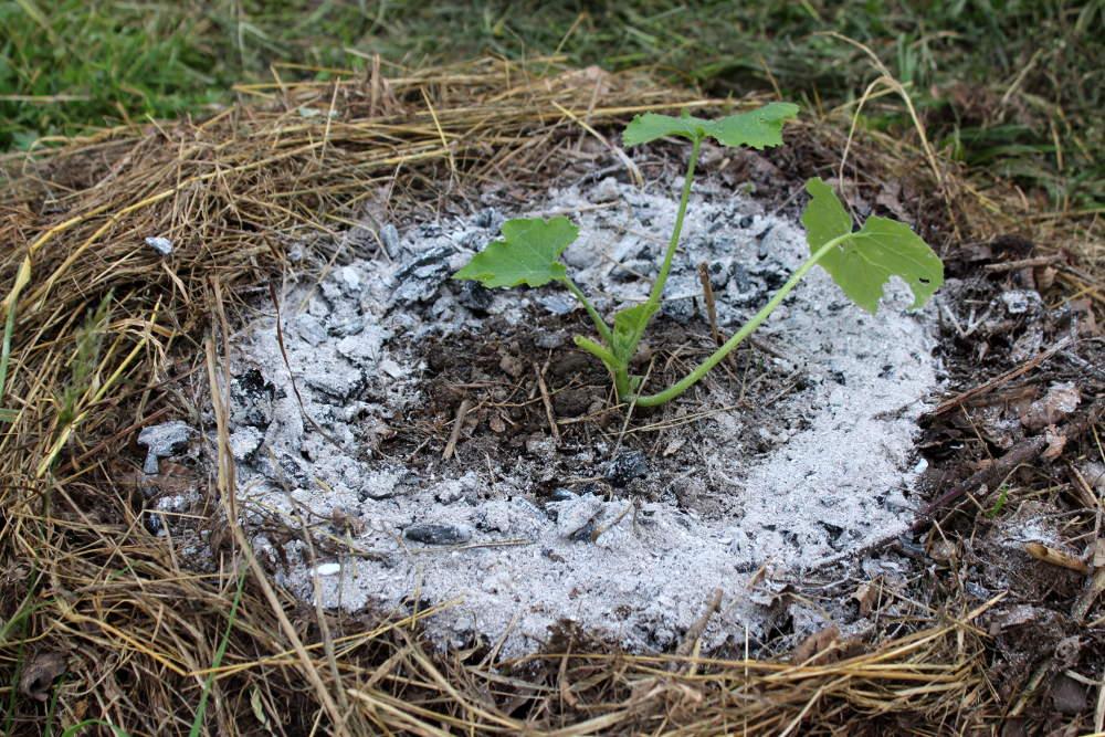 Limaces protections pi ges et r pulsifs bio au potager for Cendres dans le jardin