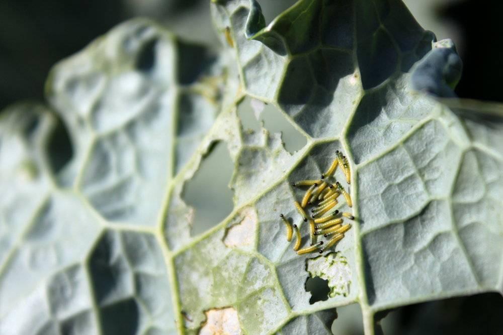 Chenille traitement naturel amazing quelle est cette chenille grand sphynx de la vigne with - Traitement naturel contre les pucerons ...