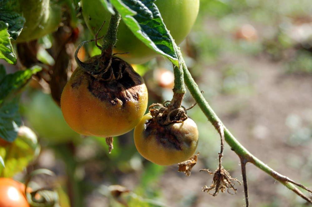 Maladie du pied de tomate good au potager with maladie du - Maladie pied de tomate ...