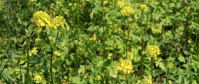 Semer de la moutarde comme engrais vert - Engrais vert d automne ...