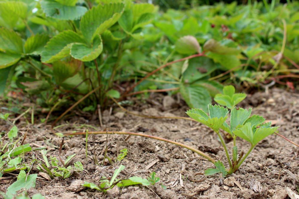 Comment multiplier les fraisiers marcottage et semis - Comment planter les fraisiers ...