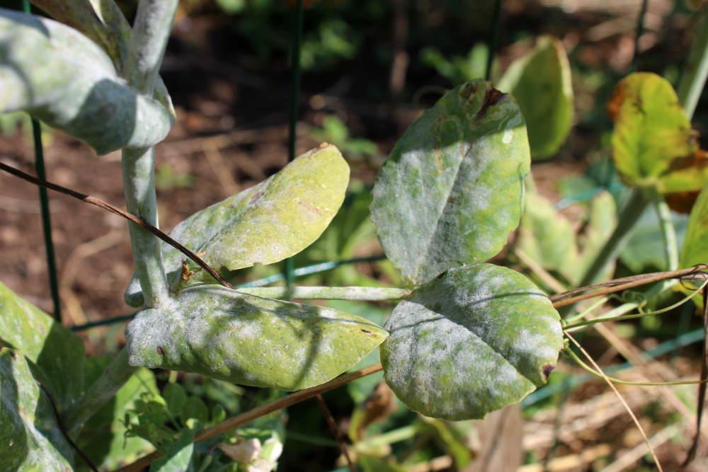 Oïdium | description et traitements naturels au potager