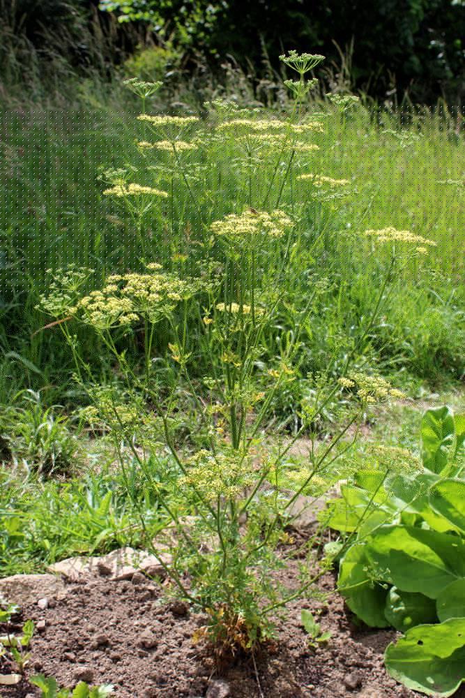 R colter les graines de persil - Planter persil en pot ...