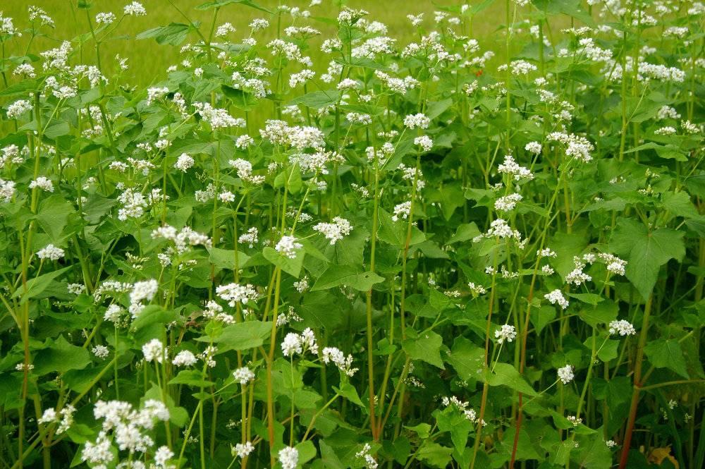 Utiliser le sarrasin comme engrais vert - Engrais vert d automne ...