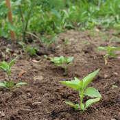 plantation du basilic
