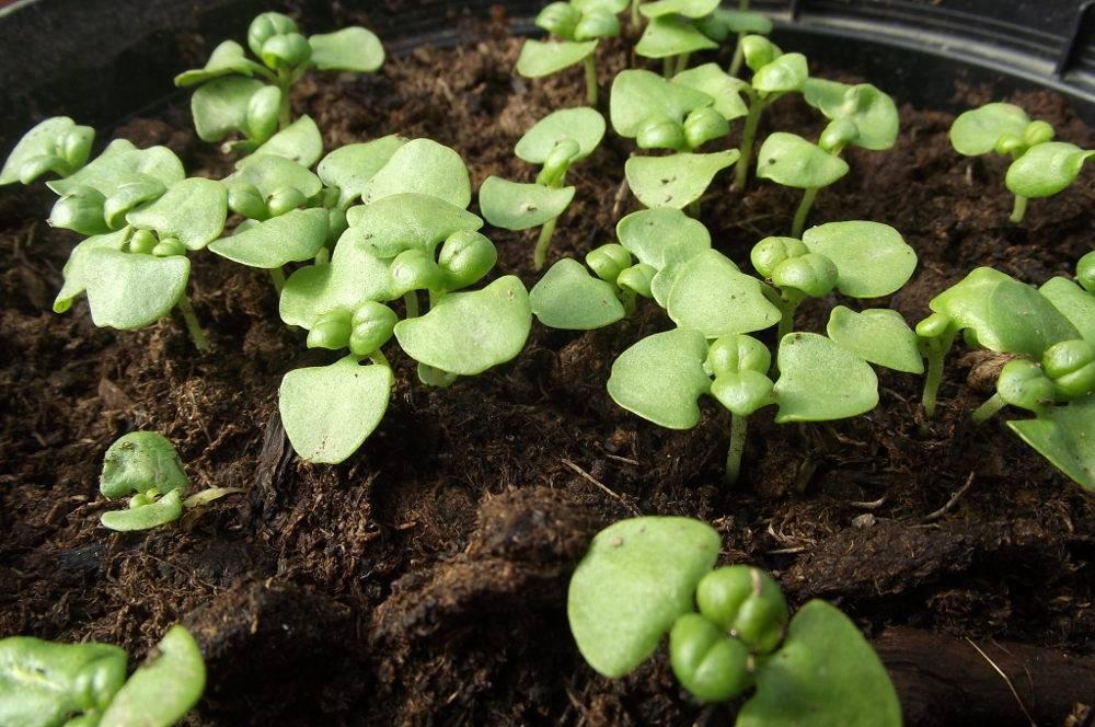 apprendre semer du basilic au potager ou en pot. Black Bedroom Furniture Sets. Home Design Ideas