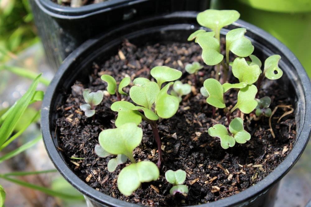 Quand et comment semer les choux au potager for Semer le gazon au printemps