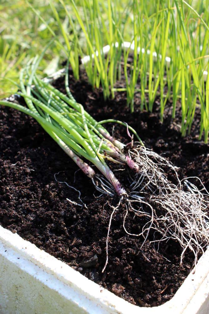 Planter oignon blanc oignon blanc spherique de juin - Comment planter les oignons ...