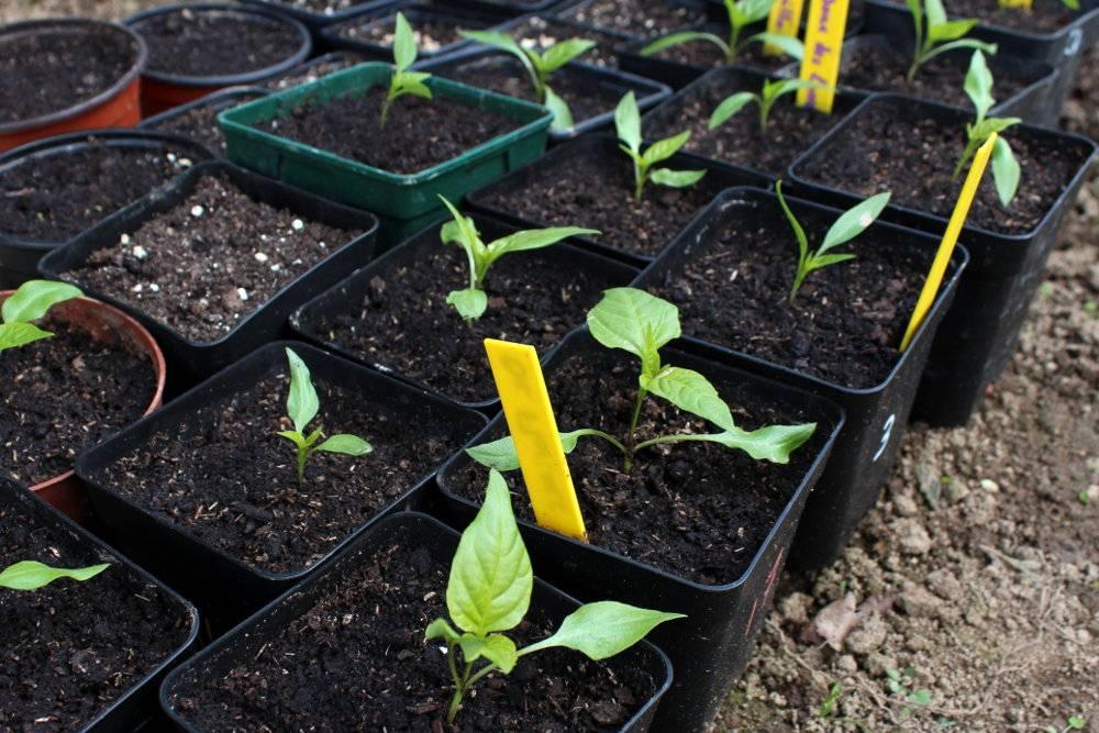 Comment semer des piments et des poivrons quand et - Comment planter des poivrons ...