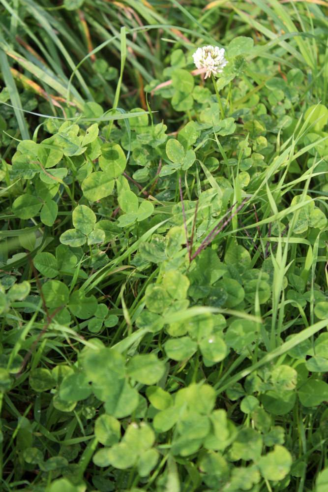 Semer du tr fle blanc comme engrais vert au potager for Semer du gazon au printemps