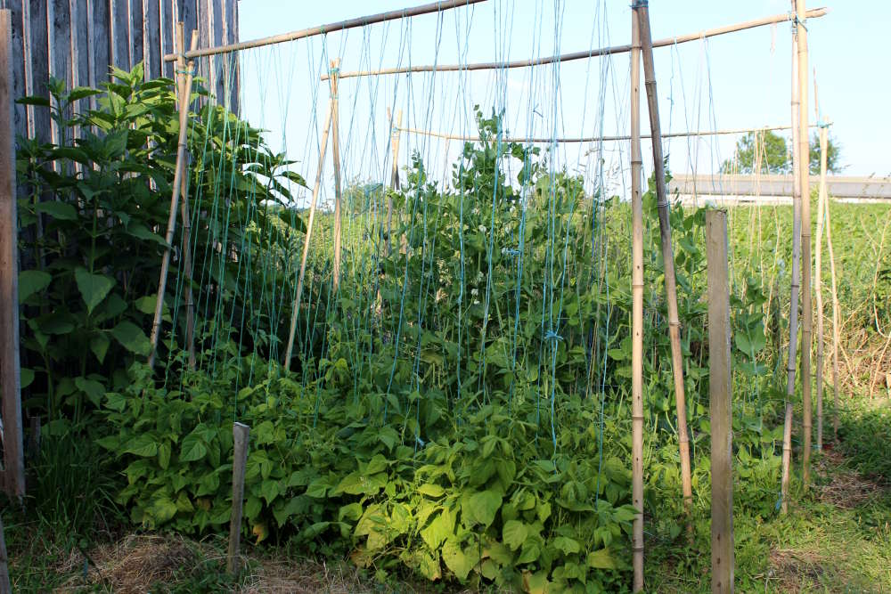 Quels tuteurs pour les haricots et pois rames - Tuteur tomate avec ficelle ...